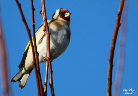 goldfinch-poiteau-charentes